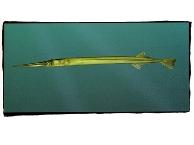Name:  needlefish-r.jpg Views: 5217 Size:  20.0 KB