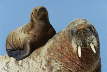 Name:  walrusandpup.jpg Views: 930 Size:  27.2 KB