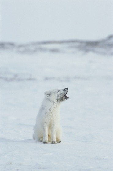 Click image for larger version  Name:whitewolf.jpg Views:230 Size:18.8 KB ID:7062