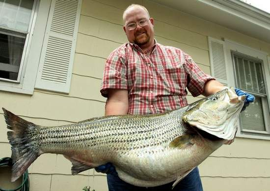 58 lb. 10.4 oz. Striped Bass caught on Bull Shoals lake Missouri
