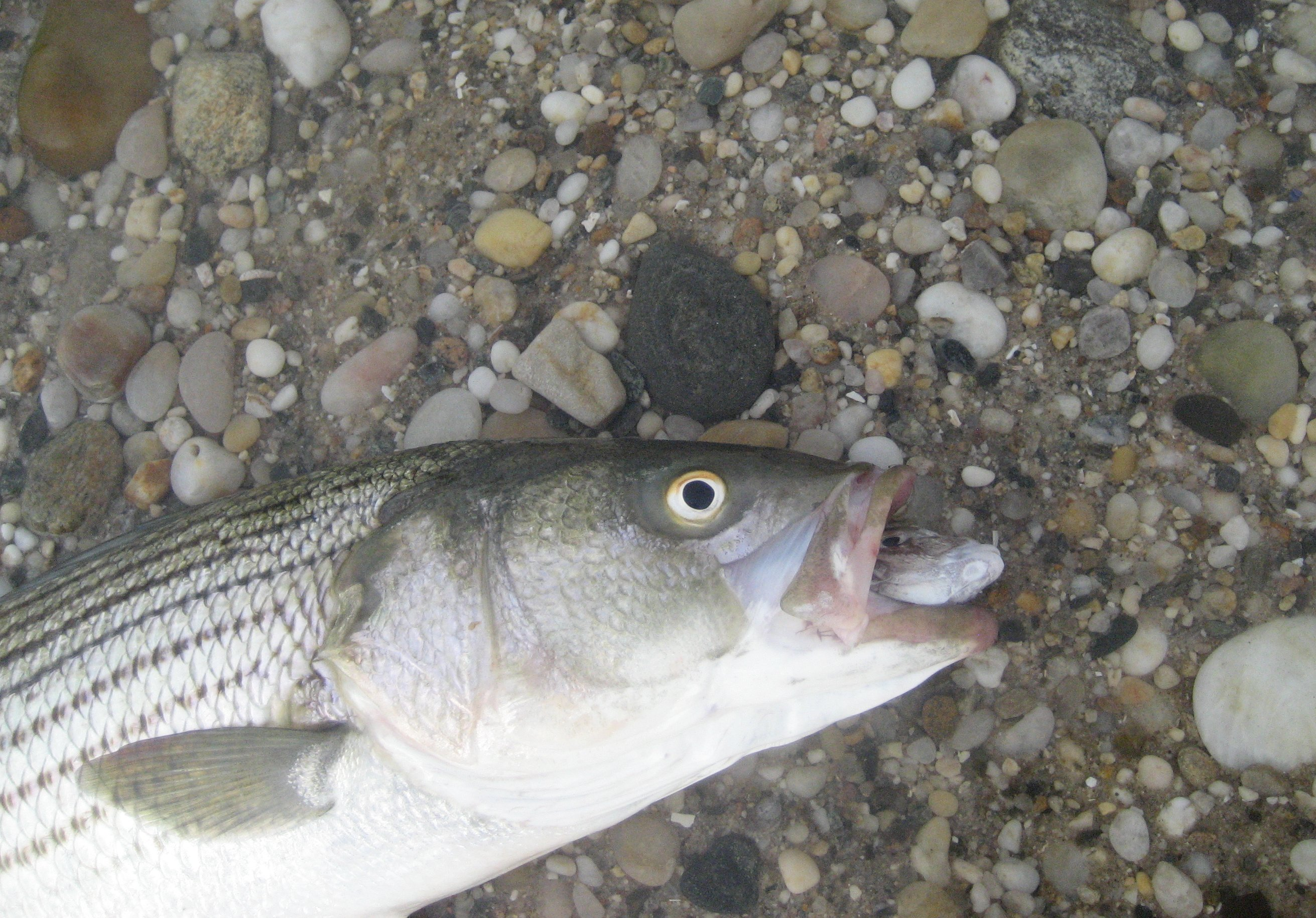 Bass hooked on Porgy Head